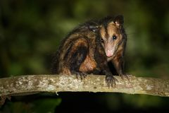 Common Opossum - Didelphis marsupialis also called the southern or black-eared opossum or gamba or manicou, marsupial species. Living from the northeast of stock images