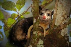 Common Opossum, Didelphis marsupialis, wild nature, Belize Royalty Free Stock Photo