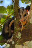 Common Opossum, Didelphis marsupialis, wild nature, curious mammal in the nature habitat, animal in the tree branch, Costa Rica Stock Photo