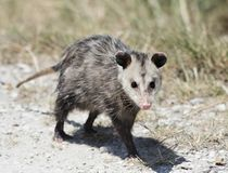 Common Opossum walking. In Florida wilderness Stock Image