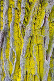 Common orange lichen Royalty Free Stock Image