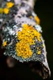 Common Orange Lichen. Macro photo of a common orange lichen on a branch Stock Photo