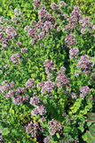 Common oregano Royalty Free Stock Photography