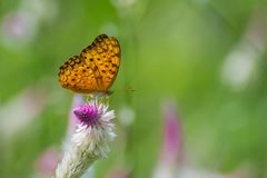 Butterfly on a Flower. Common or Oriental Leopard Butterfly on a Flower stock photography