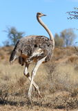 Common Ostrich Royalty Free Stock Images