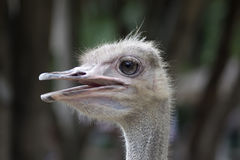 Common Ostrich Female Head. Stock Photography