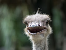 Common Ostrich Foreface. Royalty Free Stock Photography