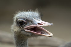 Common Ostrich Head with Open Beak. Royalty Free Stock Photo
