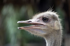 Common Ostrich Head Profile. Royalty Free Stock Images