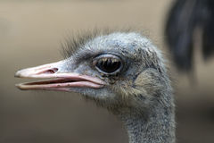 Common Ostrich Head Stock Photos