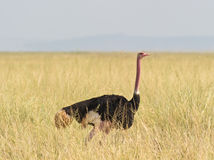 Common Ostrich in the Kenyan savannah Royalty Free Stock Image