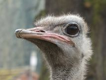 Common ostrich looking out at the world royalty free stock photography