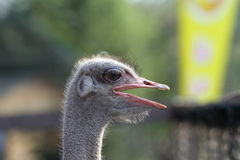 Common ostrich portrait Royalty Free Stock Image