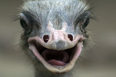 Common Ostrich Portrait. Stock Photography