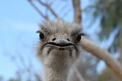 Ostrich. The common ostrich, or simply ostrich, is a species of large flightless bird native to Africa. It is one of two extant species of ostriches, the only royalty free stock photos