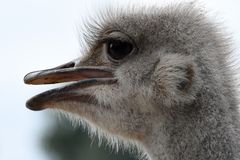Ostrich. The common ostrich, or simply ostrich, is a species of large flightless bird native to Africa. It is one of two extant species of ostriches, the only royalty free stock images