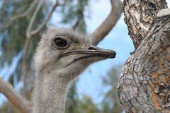 Ostrich. The common ostrich, or simply ostrich, is a species of large flightless bird native to Africa. It is one of two extant species of ostriches, the only royalty free stock image