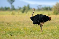 Common ostrich, Struthio camelus, big bird feeding green grass in savannah, Kruger NP, South Africa. Ostrich in nature habitat,. Wildlife Africa. Bird with long royalty free stock images