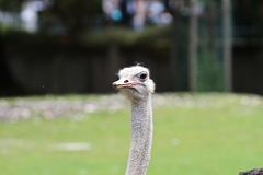 The common ostrich, Struthio camelus, or simply ostrich stock image