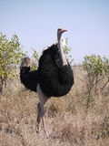 Common ostrich Royalty Free Stock Image