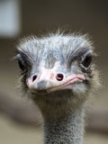 Common Ostrich View. Stock Image
