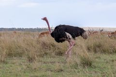 Common Ostrich, Kenya, Africa royalty free stock images