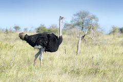 Common ostrich walking on savanna. Common ostrich Struthio camelus walking on savanna, Kruger national park, South Africa royalty free stock images