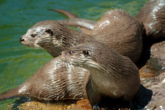 Common otters Royalty Free Stock Photography