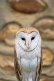 Common Owl Tyto Alba Stock Photo