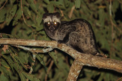 Common Palm Civet Stock Photo