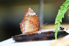 The Common Palmfly Eat bananas on the floor. The Common Palmfly A butterfly with a size of 60-70 mm stock photo