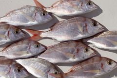Common pandora fish pagellus erythrinus. Mediterranean catch Stock Image