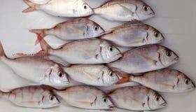 Common pandora fish pagellus erythrinus. Mediterranean catch Royalty Free Stock Photography