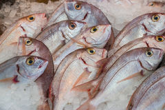 Common pandora fishes on ice at fish shop. Fresh common pandora or Pagellus erythrinus, lithrini fishes on ice in the greek fish shop lined up for sale. Common Royalty Free Stock Photography