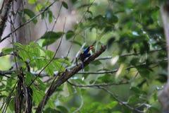Common paradise kingfisher in Morotai Island, Indonesia Royalty Free Stock Photo