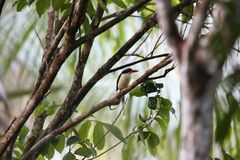Common paradise kingfisher in Morotai Island, Indonesia Stock Photo