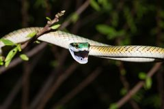 Free Common Parrot Snake At Night On The Tree Stock Images - 128000294