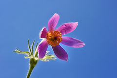 Common pasque flower Stock Photo