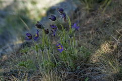 Common pasque flower (pulsatilla vulgaris), earliest flowers with hair Stock Photo