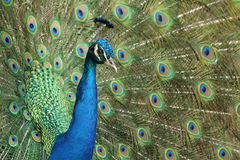 Common Peacock Royalty Free Stock Image