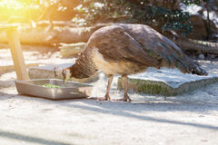 Common peafowl male eating food in box. Stock Images