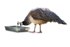 Common peafowl male eating food isolated on white. Stock Photos