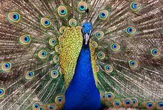 Common peafowl Royalty Free Stock Photography