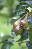 Common Pear Royalty Free Stock Image