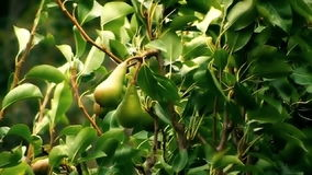 Common Pear In The Wind stock video footage