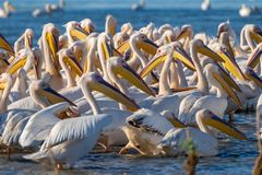 The common Pelican colony at Fortuna Lake in Danube Delta, Roman. Ia stock images