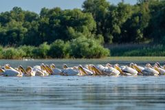 The common Pelican colony at Fortuna Lake in Danube Delta, Roman. Ia royalty free stock photos