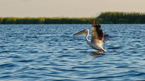 Common Pelican On Danube Delta Royalty Free Stock Image