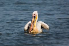 Wildlife: bigbird - common pelican eating a bigfish royalty free stock image