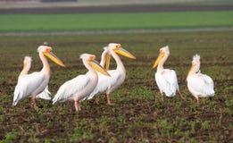 Common pelicans. Pelecanus onocrotalus, resting on field Stock Photos